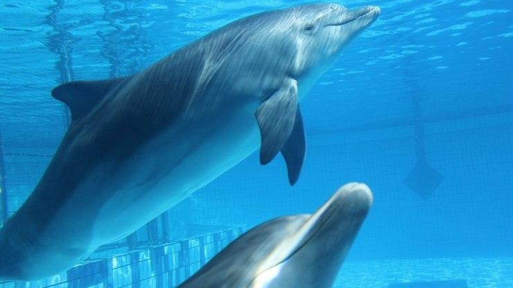 Дельфины под водой в бассейне